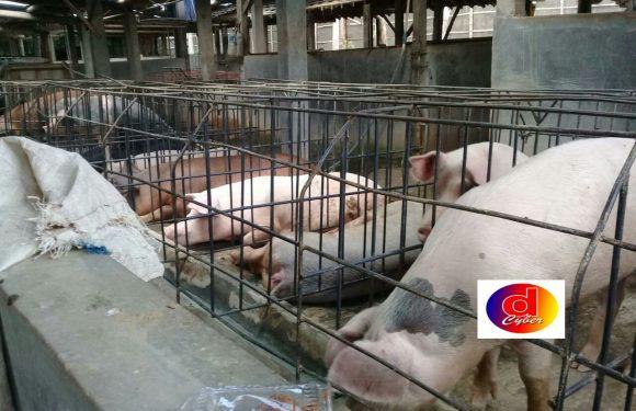 Peternak Babi Tidak Punya Ijin di protes Warga