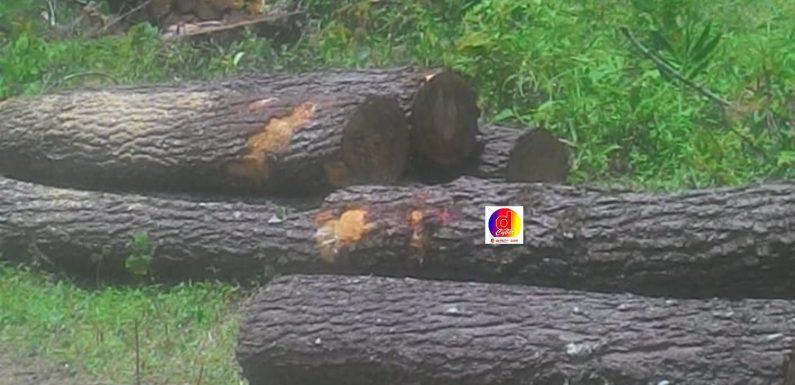 Guna Peremajaan, Penebangan Kayu Pinus  Besar Besaran Dilakukan di Wilayah Eromoko